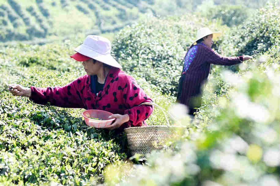 安徽铜陵:农民抢摘春茶