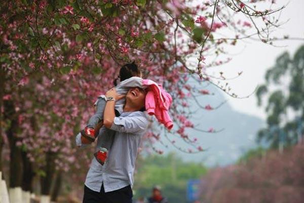 广西柳州27万株紫荆花绽放 民众花下畅游