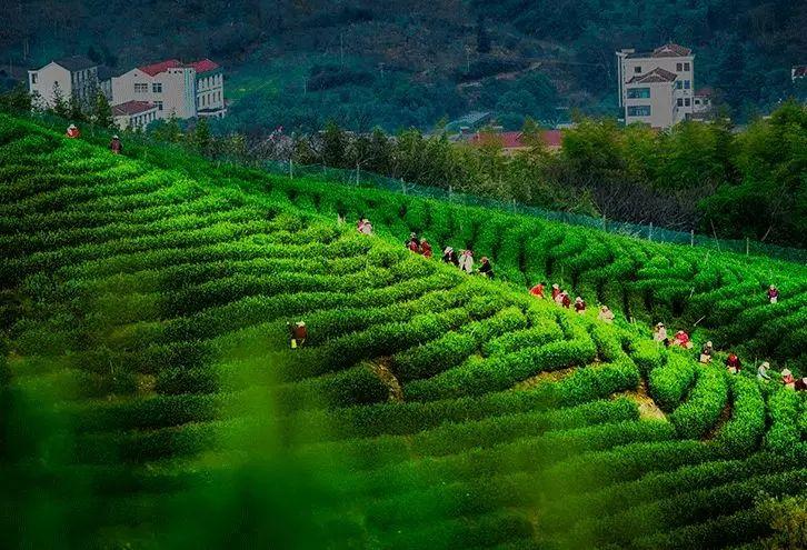 """江苏溧阳以""""茶""""打响全域旅游品牌"""