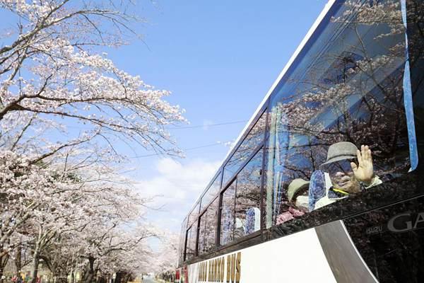 时隔9年 日本赏樱巴士再驶入福岛隔离区樱花大道