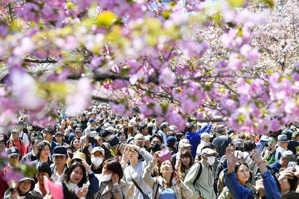 日本大阪满树繁花 游客樱花下漫步