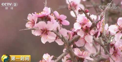 荒漠里的春天 蒙古扁桃花在腾格里沙漠竞相绽放