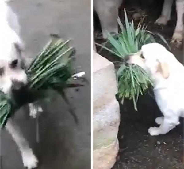 跨界友谊!印度一狗狗叼来鲜草给饥饿水牛喂食