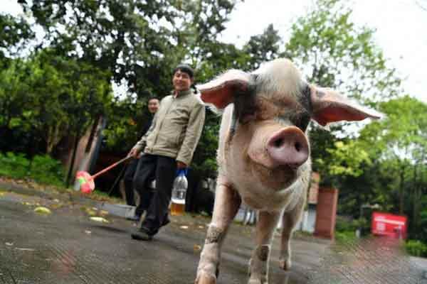 """汶川地震""""猪坚强""""仍健在 相当人类80岁高龄"""