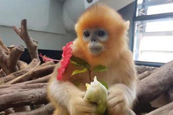 """在香港出生的川金丝猴""""乐其""""回到老家成都"""
