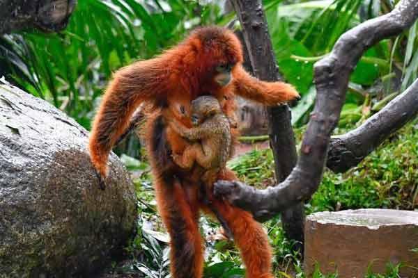 广州长隆成功繁育13只川金丝猴