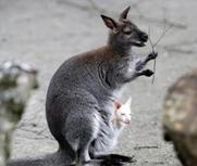 人类食物可能害死袋鼠