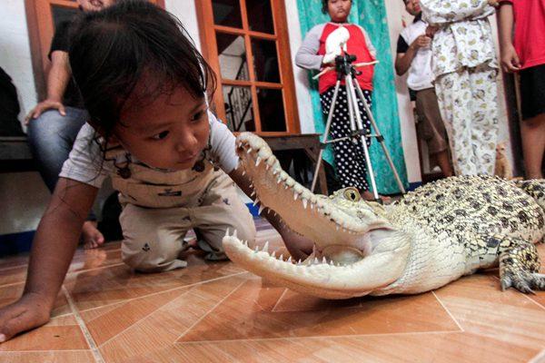 印尼三岁小女孩和鳄鱼成好朋友 一起玩耍沐浴
