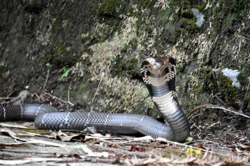 台媒:台湾日月潭山区大尾眼镜蛇现踪 民众出行需防蛇