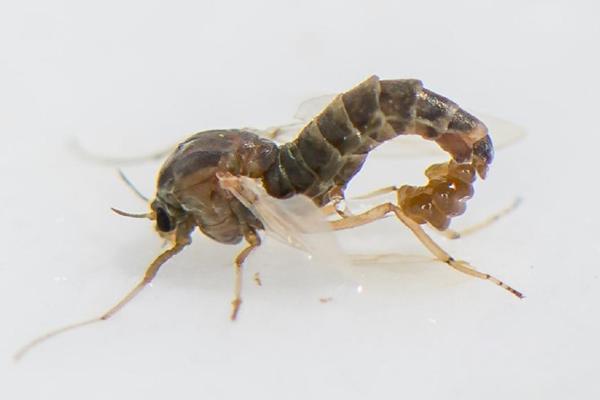 """浙江沿海发现海洋昆虫新物种""""中华二叉摇蚊"""""""
