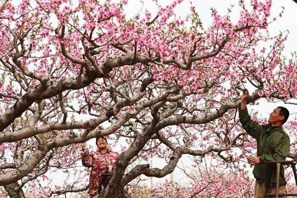 河北深州:桃花朵朵春满园