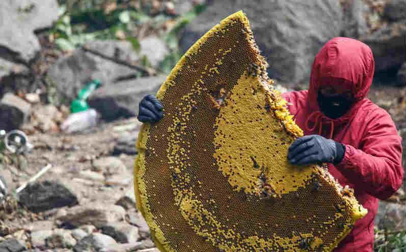 尼泊尔岩蜜采集人