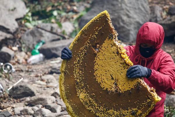 这种蜂蜜来之不易!尼泊尔岩蜜采集高风险