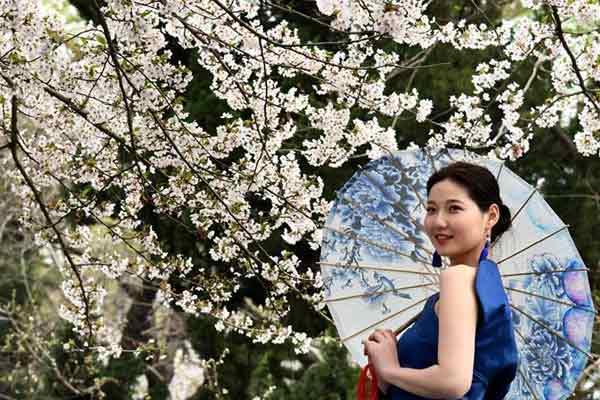 青岛中山公园樱花大道赏樱花