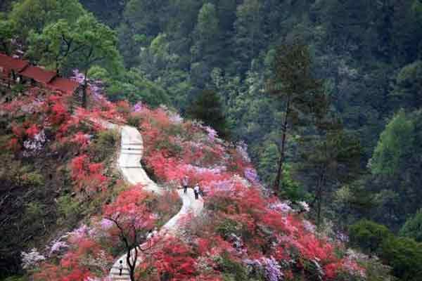 安徽千米映山红长廊吸引八方游客