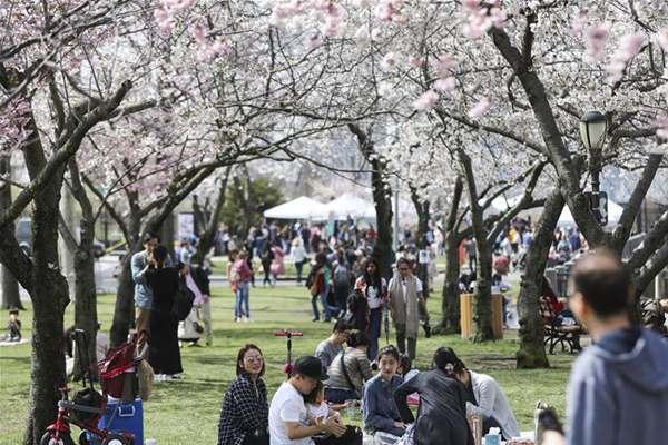 纽约罗斯福岛春樱盛开 吸引众多游人观赏拍照