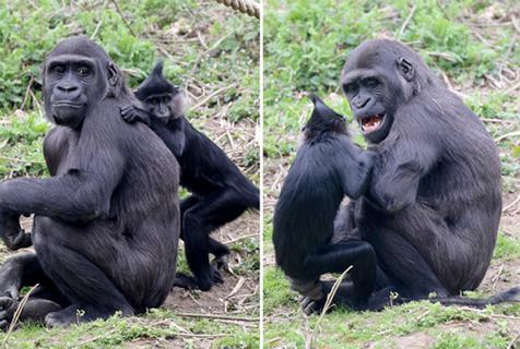 """荷兰猴子和猩猩成""""老铁"""" 草地嬉戏画风逗趣"""