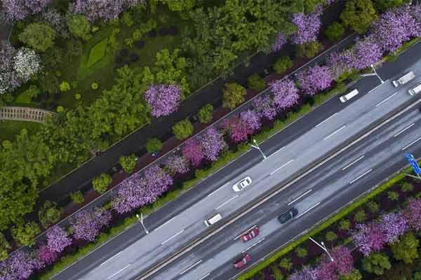 广西柳州:雨后洋紫荆别样美