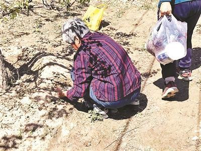 多个公园野菜被挖园内提醒喷洒农药 挖菜者:回家洗洗