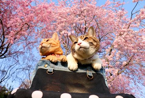 日本两只猫咪跟着主人去旅行 樱花树下拍美照
