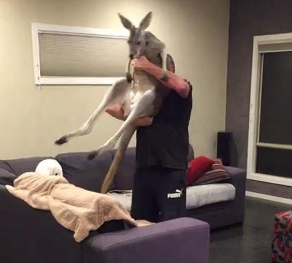 澳袋鼠每晚做客一民居 互相拥抱吻别宛如亲人