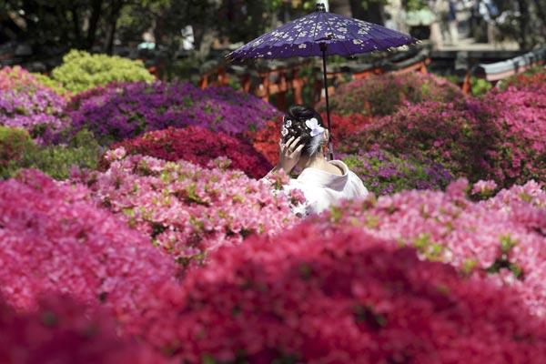 东京根津神社杜鹃花盛放 和服美女花间拍照