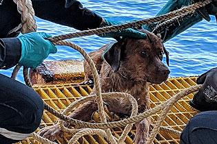 奇迹!小狗海上漂泊200余公里被石油工人救下