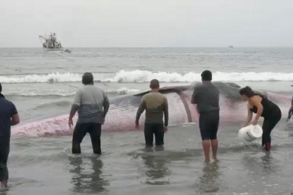 鲸鱼意外搁浅海滩 智利民众协力拉其入水
