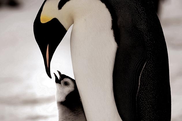 BBC女摄影师记录帝企鹅生活 称其为最完美的企鹅