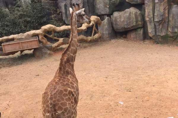 """云南野生动物园现""""土豪"""" 投人民币""""喂""""长颈鹿"""