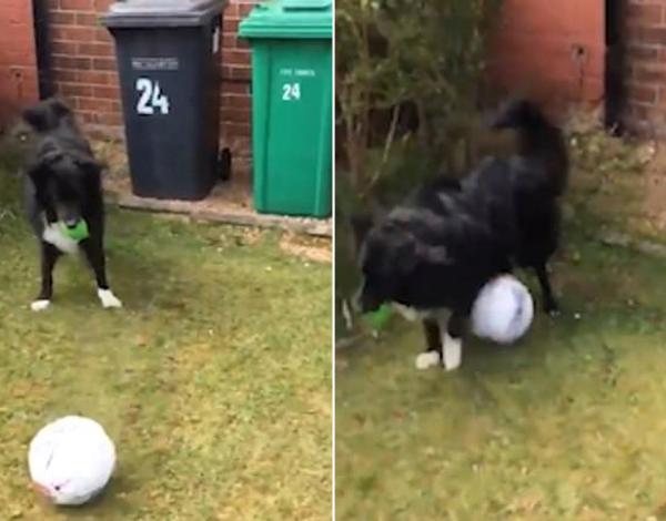 英国一小狗踢球技术精湛经常和邮递员比试玩耍