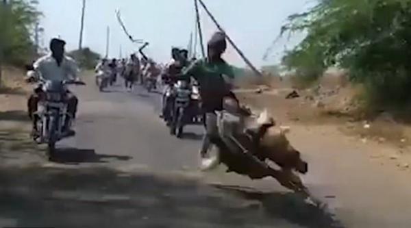惊险!印男孩骑马摔倒又从疾驰摩托上跳回马背