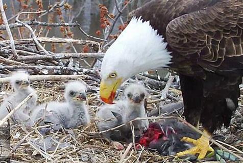 好有爱!三只秃鹰共同抚养幼崽场面温馨动人