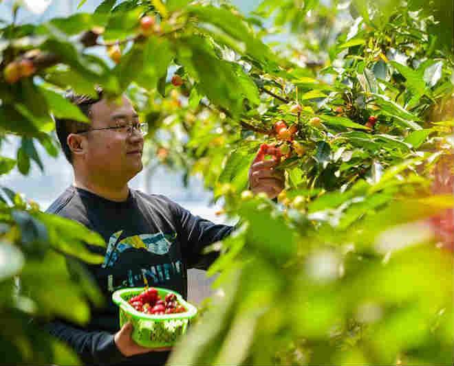 樱桃种植富农家