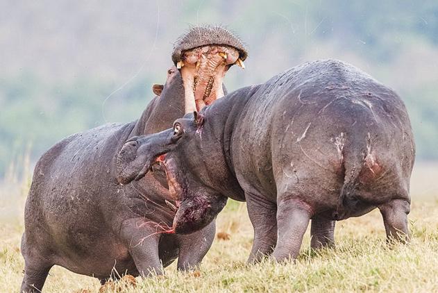 非洲两愤怒雄性河马为争夺伴侣展开殊死较量