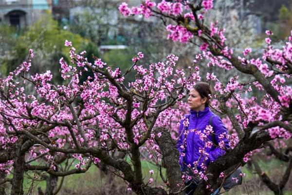 克里米亚桃花盛开 粉色满园娇艳欲滴