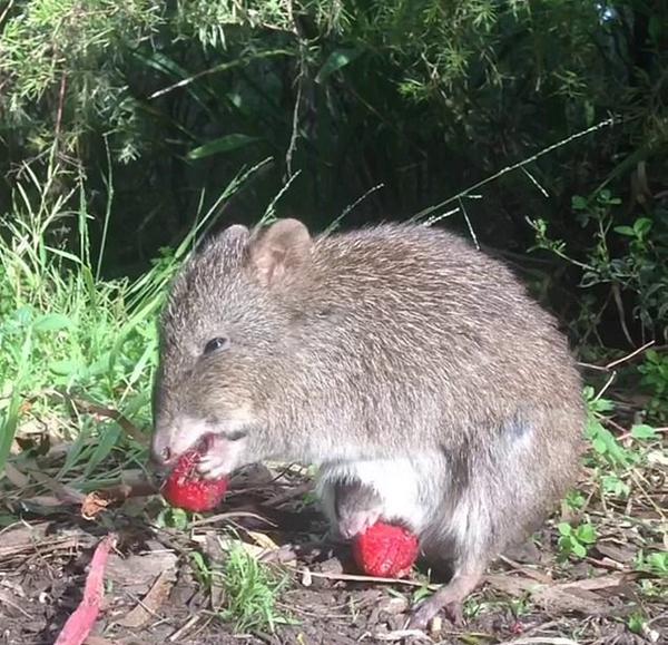 可爱极了!长鼻袋鼠宝宝偷偷探出育儿袋吃草莓