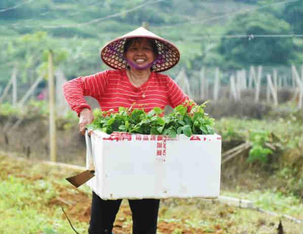 广西龙州:百香果种植助农增收