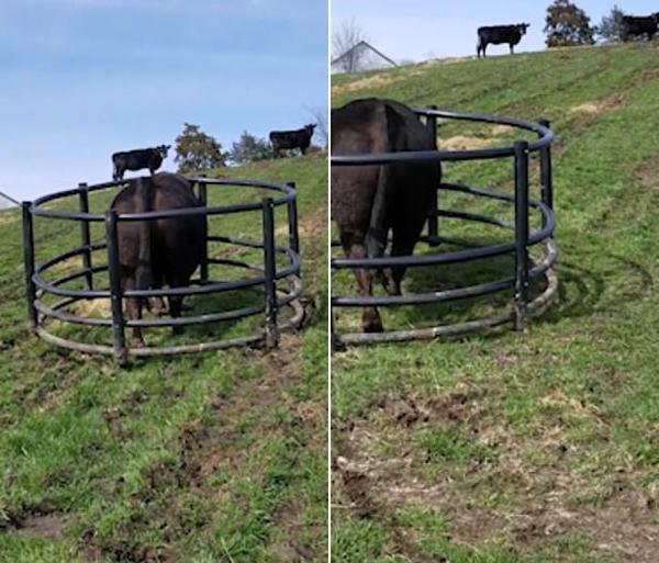 搞笑!美农场一公牛拖着干草圈找农民要干草吃