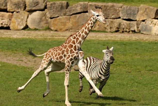 可爱!英国小长颈鹿和斑马赛跑最终靠脖子取胜