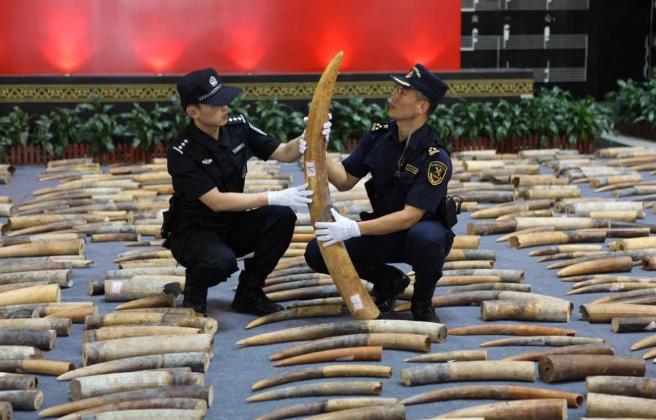 """外媒:破获特大象牙走私案 中国""""护象""""努力全世界都在点赞"""