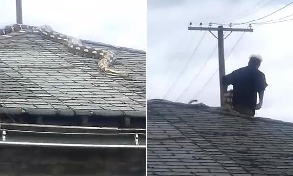 美5米长宠物蟒被困屋顶 上班主人赶回家营救