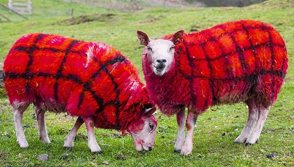 苏格兰农民为吸引游客将绵羊喷涂成格子图案