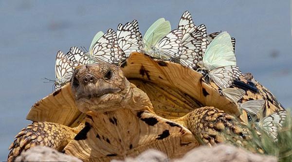 """博茨瓦纳大量蝴蝶栖身龟背使其变为""""剑龙"""""""
