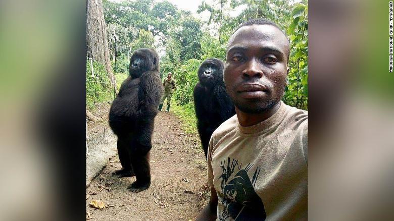 刚果大猩猩成精:对着公园管理员的自拍镜头摆pose