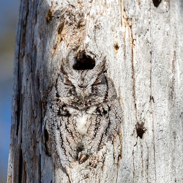 完美伪装!猫头鹰栖身树洞口颜色与树干一致