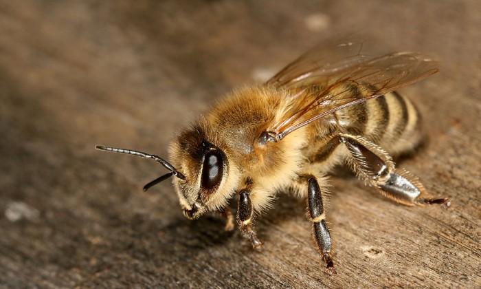 研究:杀虫剂或导致蜜蜂极易受到致命螨虫侵害