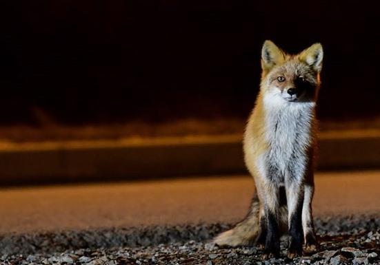 俄客机降落时跑道现熟睡野狐 紧