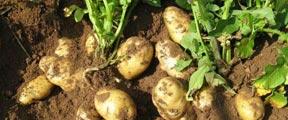 种土豆也侵权!百事公司起诉4名农民