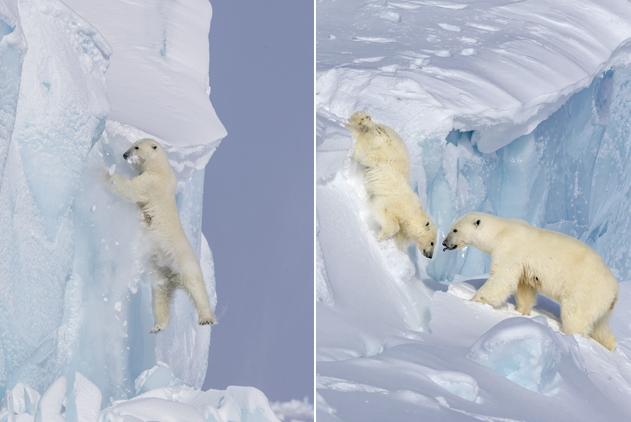 北极熊宝宝跌落冰崖 熊妈妈反复攀崖揪心寻找